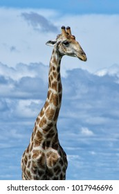 Tall grown giraffe with long neck in Namibia, Africa