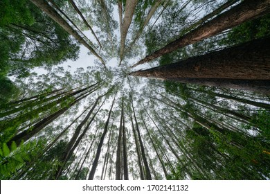 Tall gum trees rising skyward from forest floor with fern fronds in Australian rainforest.