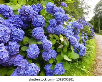 tall hedge of deep blue mop head hydrangeas alongside a curving shingle path