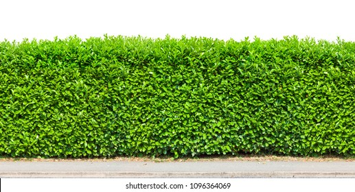 Tall hedge with gravel road isolated
