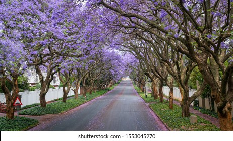 Tall Jacaranda trees lining the street of a Johannesburg suburb in the afternoon sunlight, South Africa