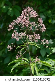 A tall Joe-Pye Weed (Eutrochium purpureum) with flowers blooms near the edge of the woods