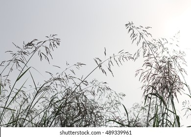 Tall Johnson Grass Growing In Pasture Against A Cloudless Sky With Sunlight Shining Through Morning Mist On A Farm in The Mountains Of South West Virginia