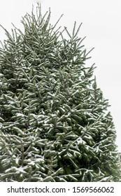 tall large huge giant upward view pine tree christmas snow holiday