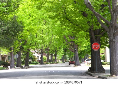Tall Liquid amber, commonly called sweet gum tree, or American Sweet gum tree, lining an older neighborhood in Northern California. Spring, summer beginning. trees vibrant green. Stop sign on corner
