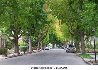 Tall Liquid amber, commonly called sweet gum tree, or American Sweet gum tree, lining an older neighborhood in Northern California. Summer ending fall beginning soon. Green turning yellow