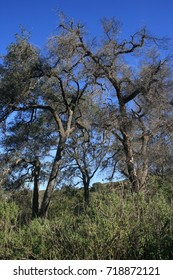 Tall live oaks in a pasture, California