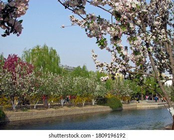 Tall malus floribunda (crabapple) trees full of blooming pink flower under clear blue sky, with blurred flower trees at the other side of the river in spring in Beijing, China