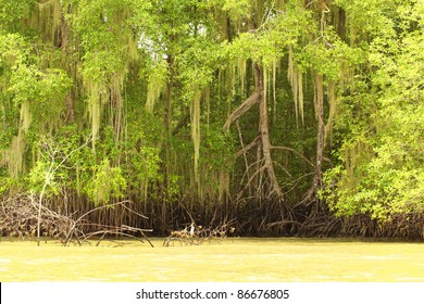 TALL MANGROVE PLANTS FROM THE ORDER OF BRUGUIERA GYMNORRHIZA IN A BRIGHT SUNNY DAY ECUADOR COASTLINE NOTICE THE TIDE SIZE THAT APPEAR ON THE ROOTS OF THESE PLANTS