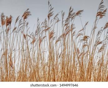 Tall marsh grass against dark sky
