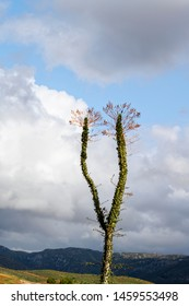 Tall Ocotillo Cactus plant (Fouquieria splendens), overlooking landscape with sky. Also referred to as coachwhip, candlewood, slimwood, desert coral, Jacob's staff, Jacob cactus, and vine cactus)