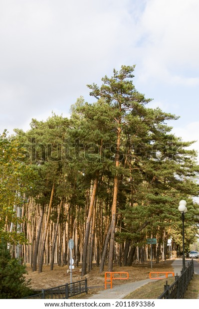 tall-old-pine-trees-forest-600w-20118933