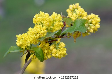 Tall oregon-grape (Mahonia aquifolium), yellow flowering wildflower in full bloom closeup macro photo, Newman Lake, Washington, USA