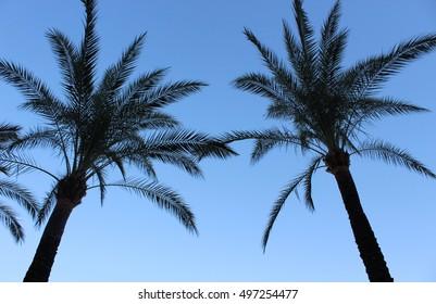 tall palm tree