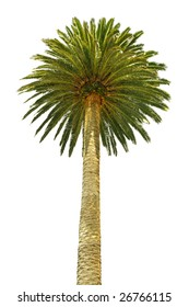 tall palm tree with an impressive crown isolated on white background