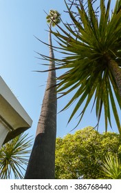 Tall palm tree with very long bole  in Santa Barbara mission garden.