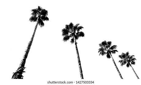 Tall palm trees in black and white