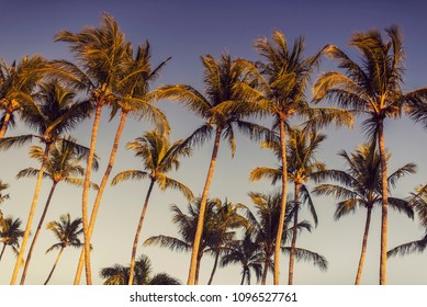 Tall palm trees in the evening