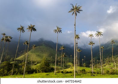Tall palms in Cocora Valley