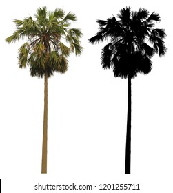 A tall palmyra palm tree with black alpha mask isolated on white background.