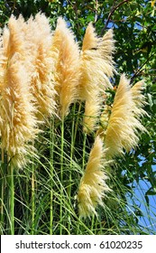 Tall pampas grass with greenery.