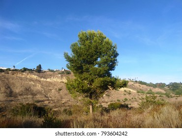 Tall pine in a field with rolling hills, California