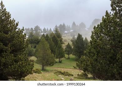 Selva de pino alto con baja niebla