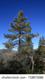 Tall pine tree in a forest, California