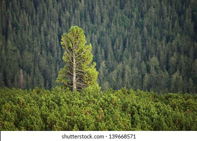Tall pine tree rising above others