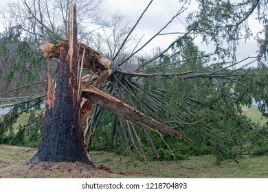 A tall pine tree with its trunk splintered and snapped in half by a windstorm