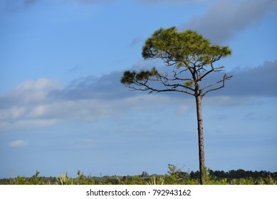 Tall pine tree in the wilderness.