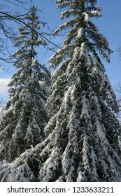 Tall pine trees cob=vered in winter snow with a clear blue sky behind them