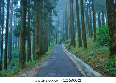 Tall pine trees covered in mist at Dow hill road in Kurseong.