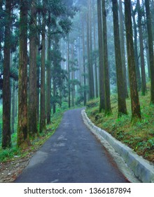 Tall pine trees covered in mist or fog at Dow hill forest in Kurseong.