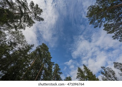 Tall pine trees in forest on background of blue sky with floating clouds