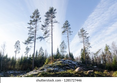 Tall pine trees growing on a hill in a bright forest by winter season