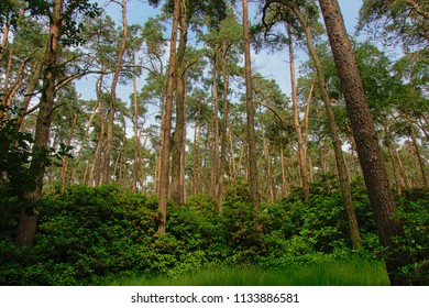 Tall pine trees and lush green shrubs on a bue sky in a forest in Flanders