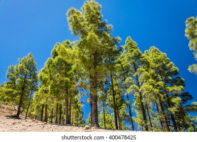 Tall pine trees on the slopes of a mountain in Gran Canaria, Spain