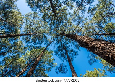 Tall pine trees reaching up to the blue sky in pine forest at Netarhat