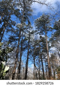 Tall pine trees in the winter