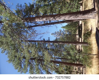 Tall pines above a picnic area in the mountains, California
