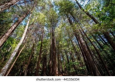 Tall Pines Reaching Upwards on the Appalachian Trail  Appalachian Trail, Appalachian Mountains, Georgia North Carolina Tennessee