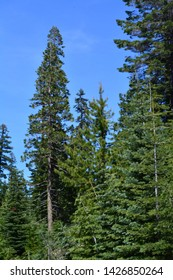 Tall Pines in the Sierras