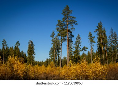 tall pines and spruces over the thicket of the young autumn colored birches