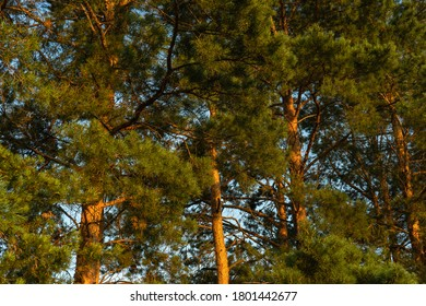 Tall pines, Sunny day. Pine forest