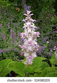 Tall pink flowering spike of the medicinal herb clary sage (Salvia sclarea) with leaves clearly visible. Background of other plants.