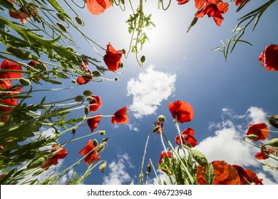 Tall poppies see from below