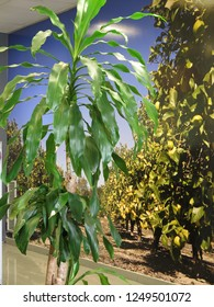 Tall pot plant against wall decorated with image of lemon grove