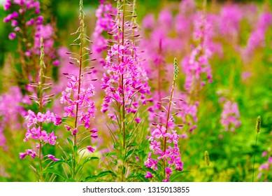 The tall purple flowers rosebay willowherb on norwegian nature.