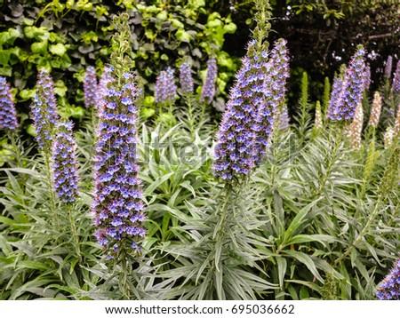 Tall purple perennial flowers stock photo edit now 695036662 tall purple perennial flowers mightylinksfo